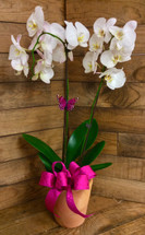 Double Spike Phaleonopsis Orchid Plant In Terra Cotta