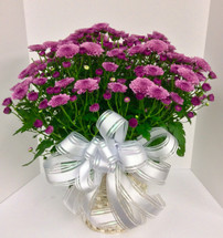 10 inch hearty mum in basket with bow