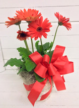 "Potted 6"" Gerbera Plant in basket with bow"