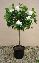 5 Foot Gardenia Topiary in Basket with a Bow