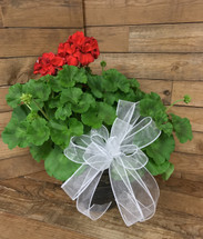 "10"" Potted Geraniums"