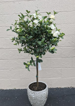 5 ft Gardenia Tree in Ceramic Pot