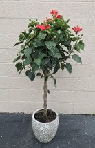 5 ft Hibiscus tree in Ceramic Pot