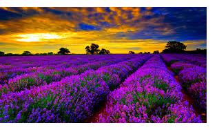 lavenderrow.jpg