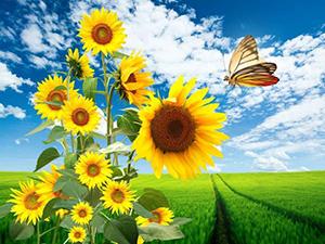 sunflowerr.jpg