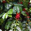 Sumatra Mutu Batak