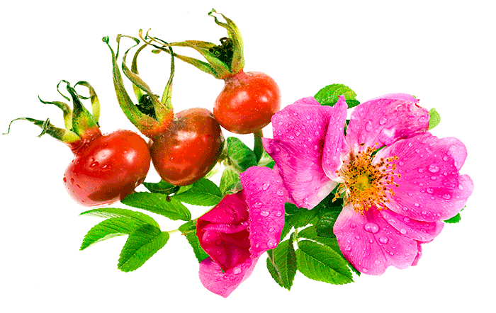 The Rose Hip Seed Oil is extracted from seeds of wild roses called Rosa Rubiginos which carry high vitamin A, C and E content.
