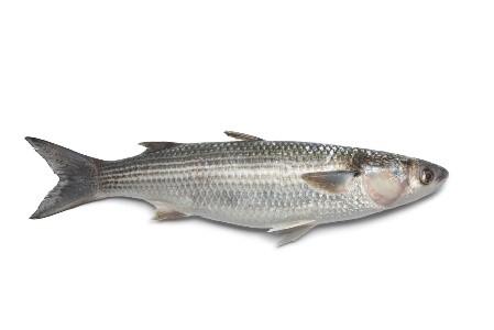 Grey Mullet Fish