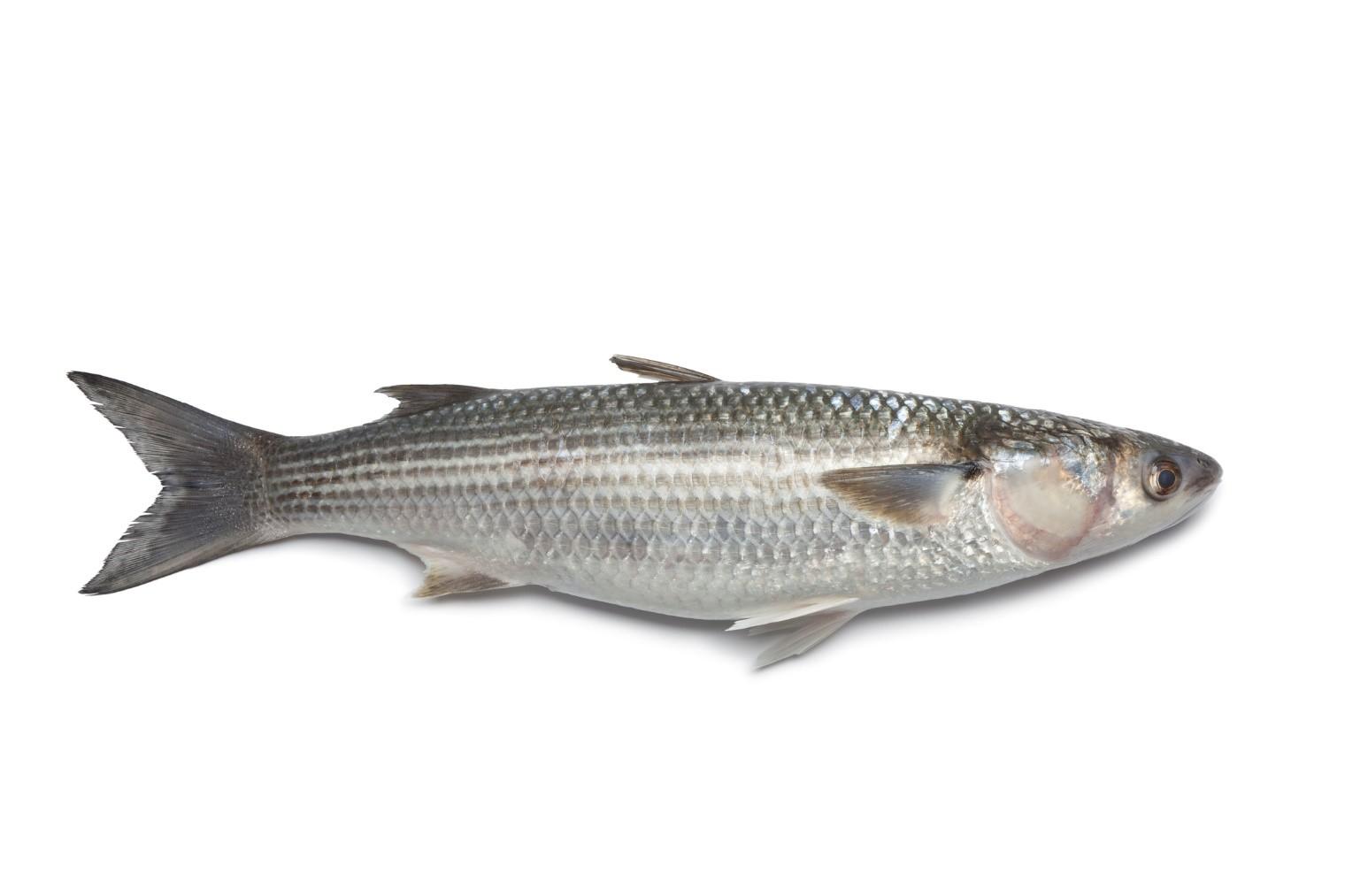 Mullet Fish