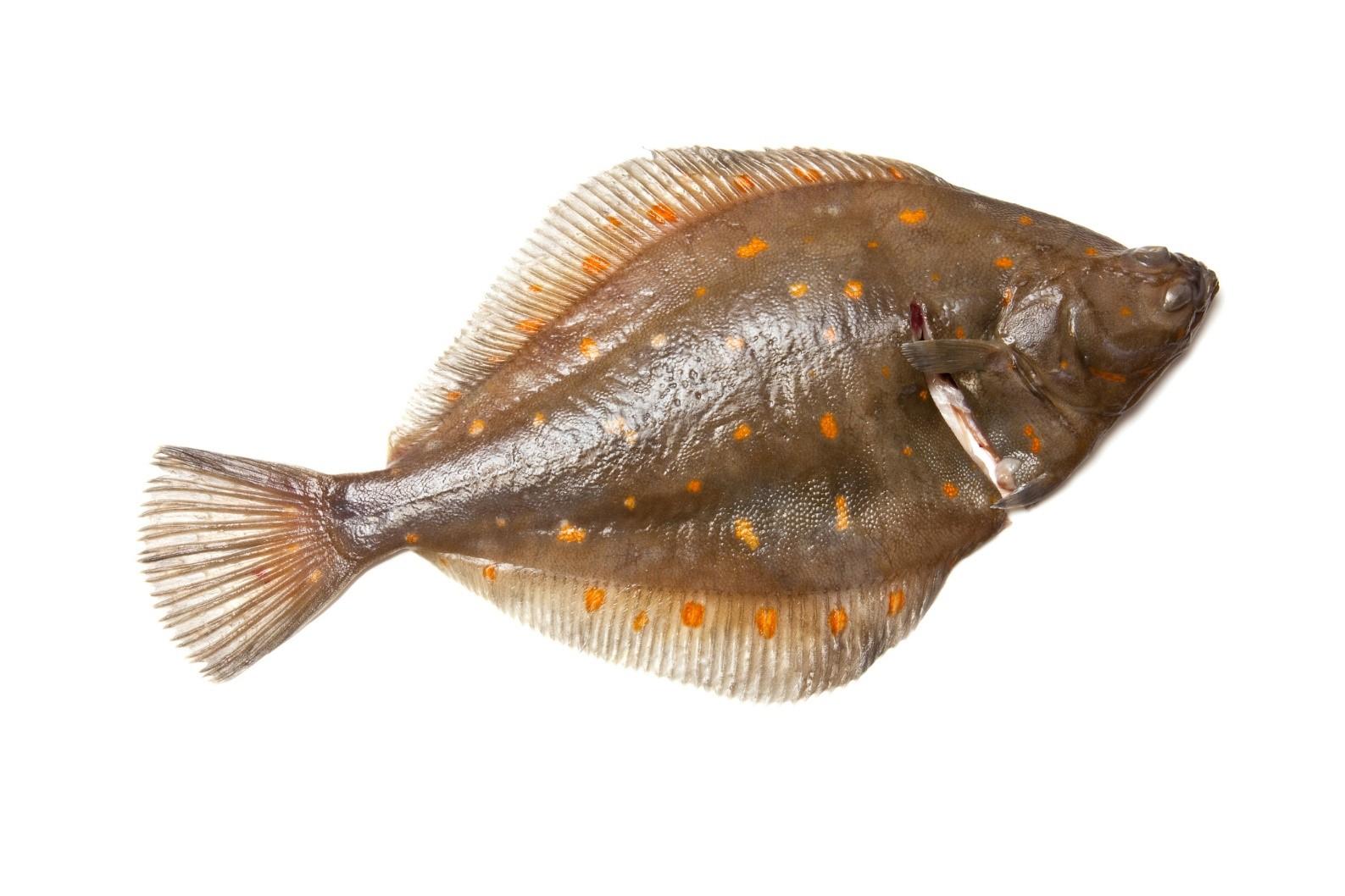 Flounder Fish