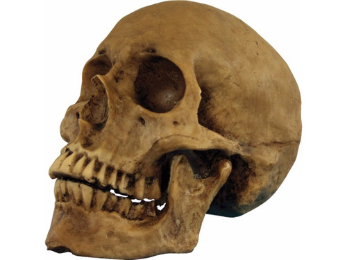 Hard resin human skull with movable jaw. Dark brown in color for a rotted, just dug up look. Slightly smaller than natural size. Approximately 5 1/2 in tall, 4 in wide, 7 1/4 in from front to back.