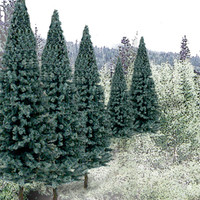 "Ready Made Trees Value Pack 2"" - 4"" Blue Spruce (18)"