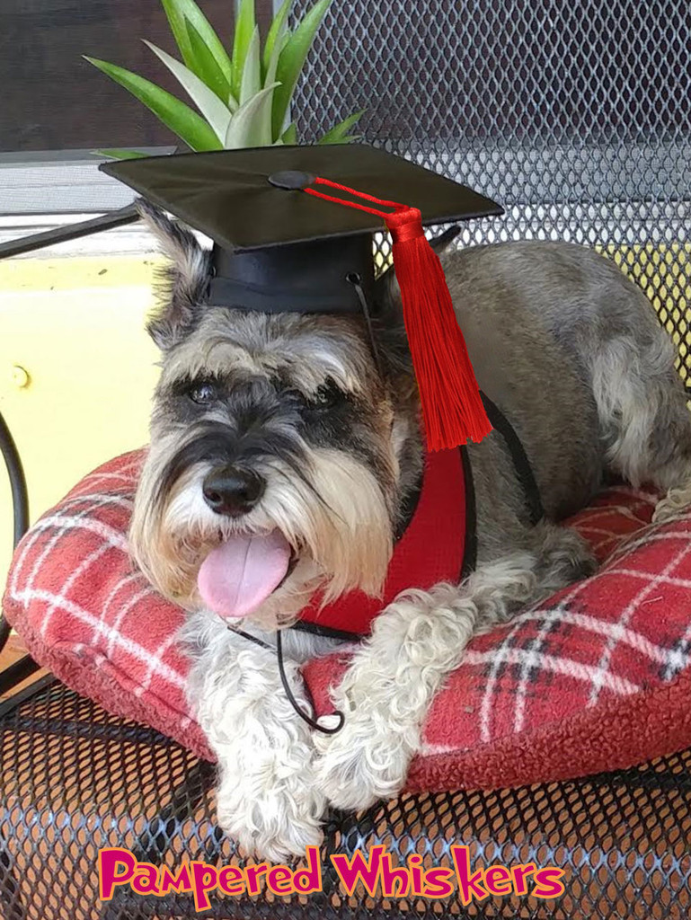 The Graduate - graduation cap for dogs and cats
