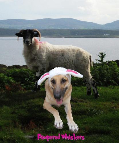 The Sheepish One