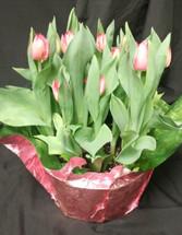 Tulip Bulb Garden