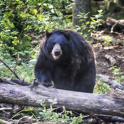 Corporate Bear Membership