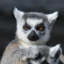 Adopt a Ring-Tailed Lemur