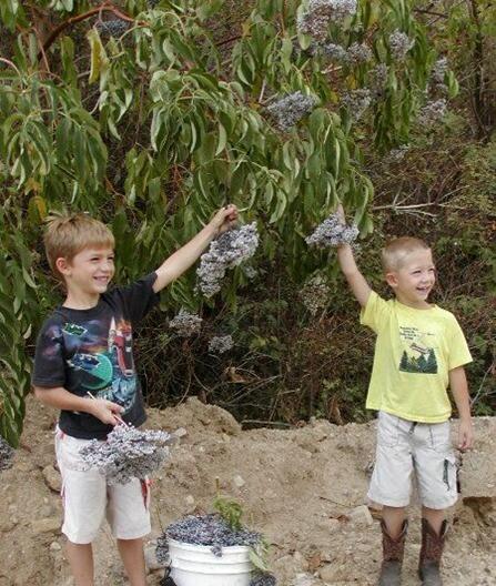 Dorothy's Grand children Picking Wild Elderberries