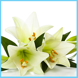 Your guide to easter gifts abbott florist said to represent hope love purity and new beginnings the easter lily is used for traditional religious decoration as well as everyday admiration negle Choice Image