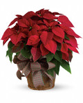 Nothing says Christmas like a big red poinsettia! A popular Christmas decoration, send this red poinsettia plant as a holiday gift - or keep it for yourself! The large flowering plant will be specially delivered by a local florist. Start a Christmas tradition this year! The classic Christmas plant is potted in an 8-inch pot and presented in a natural basket decorated with plaid taffeta ribbon.