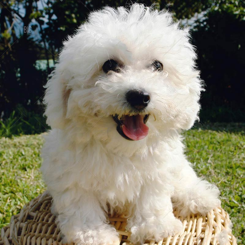 a white bichon frise sitting on a basket