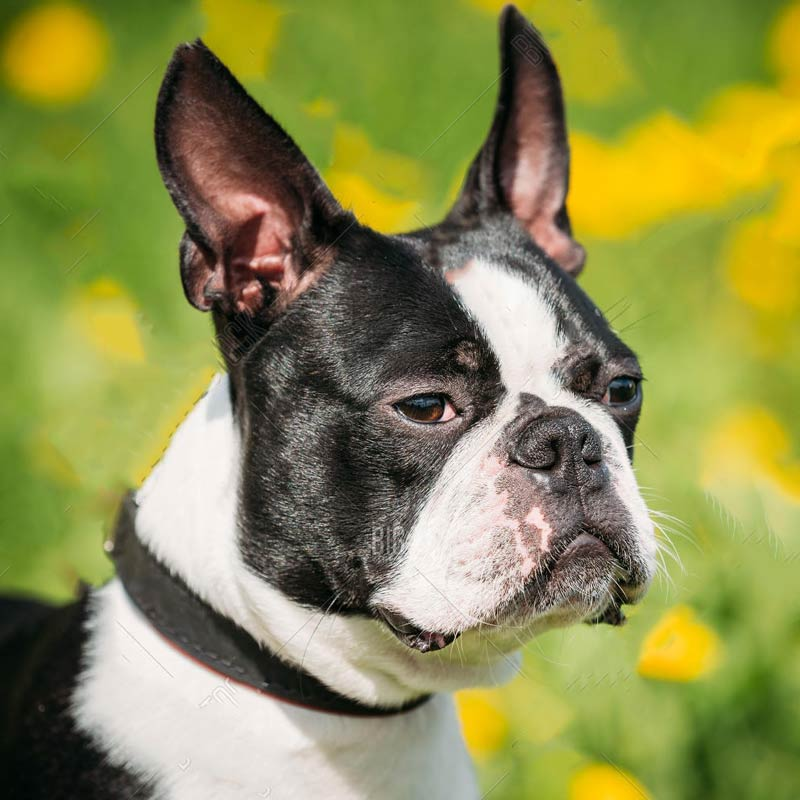 a white and black boston terrier in a field of flowers