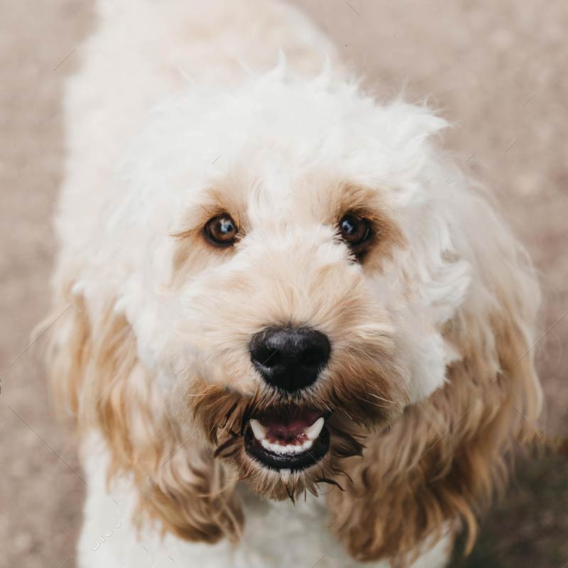 a cute cockapoo smiling right at the camera