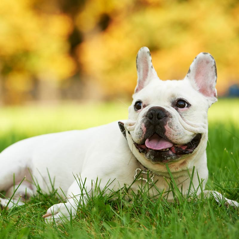 a happy white french bulldog laying in grass