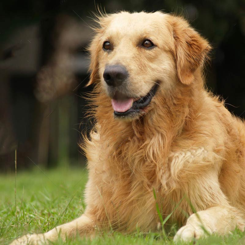 a golden retriever laying down