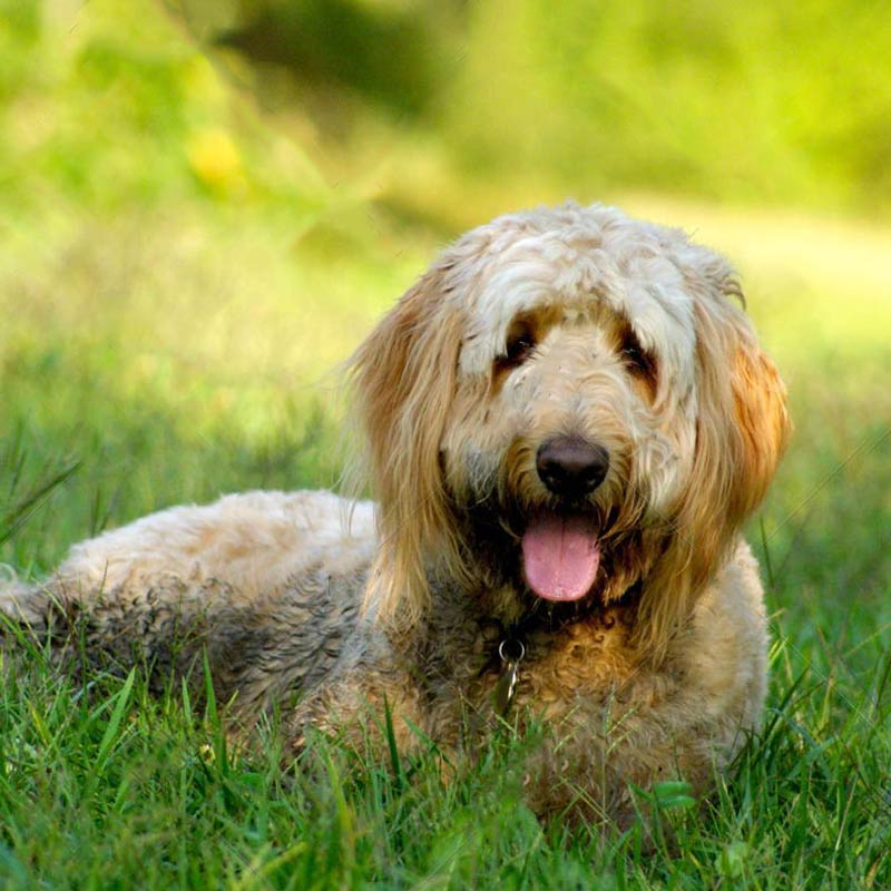 a muddy goldendoodle laying in the grass