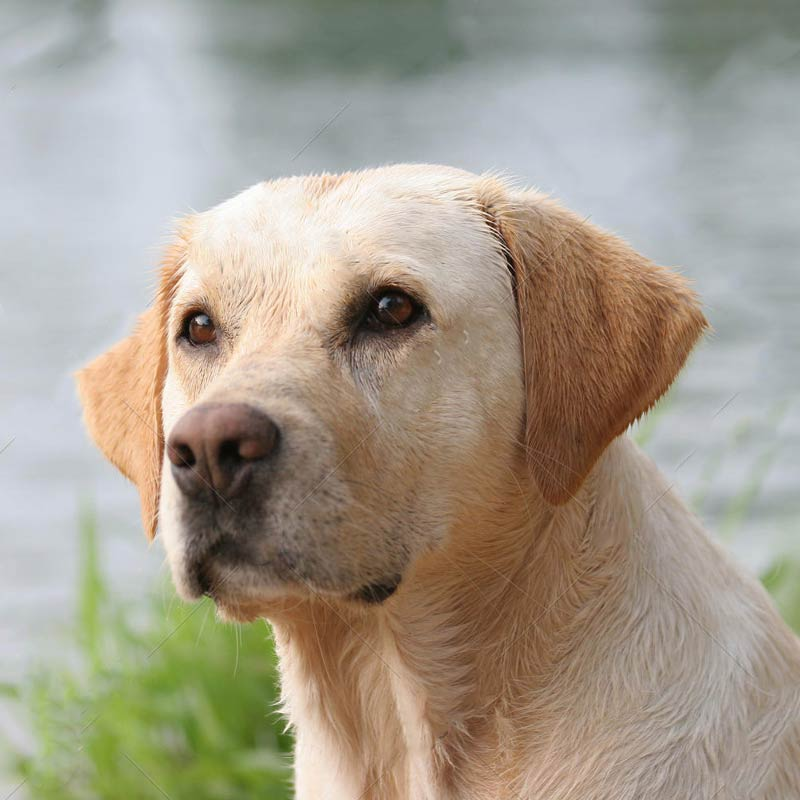 a labrador retriever by a lake