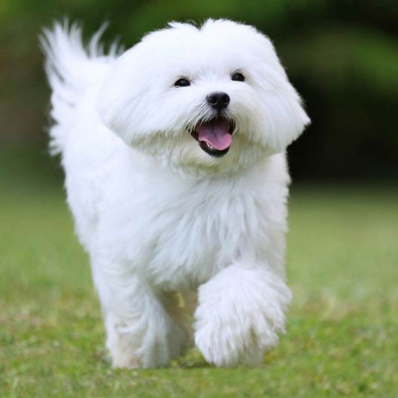 a happy maltese running