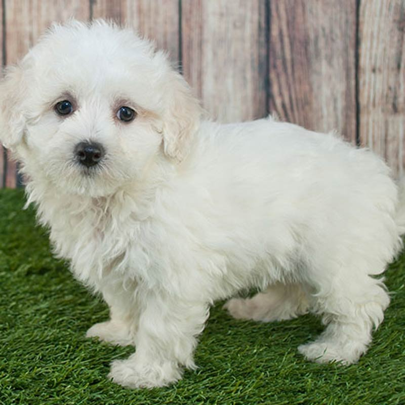 a white maltipoo standing in front of a wooden fence