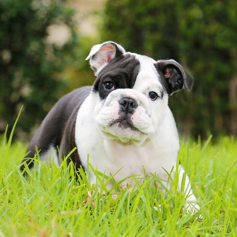 a black and white mini bulldog laying in the grass