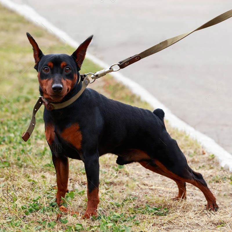 a beautiful miniature pinscher on a leash standing in the grass