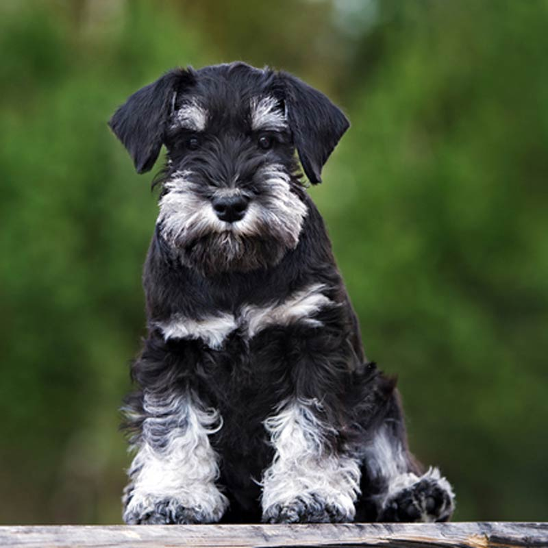 a black miniature schnauzer sitting with trees in the background