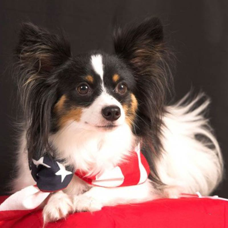 a papillion with an american flag around its neck