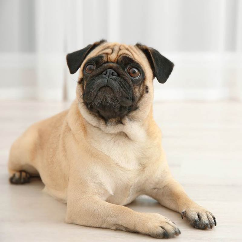 a tan pug laying on the floor