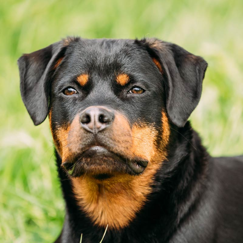 a rottweiler looking into the camera and being alert