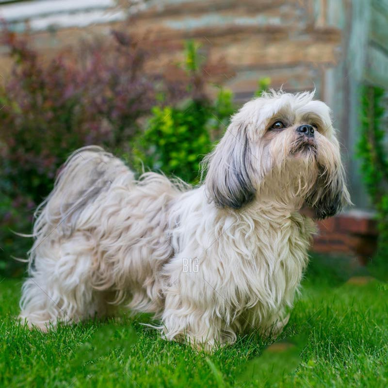a small shih tzu posing in front of bushes
