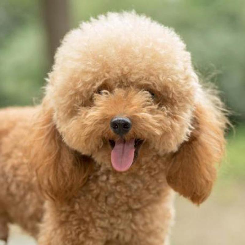 a tan toy poodle outside
