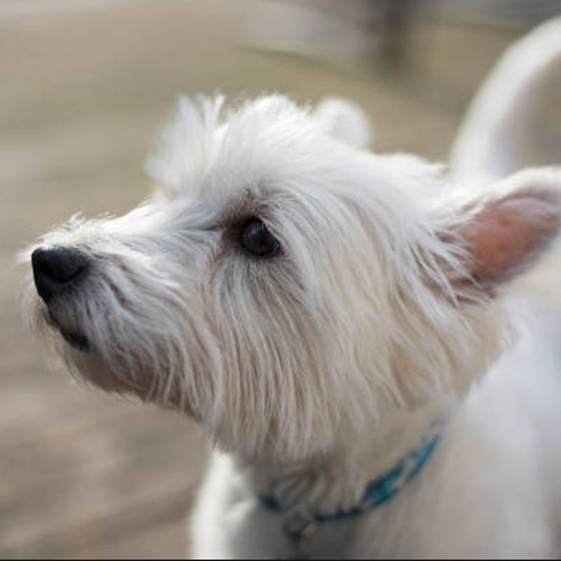 a cute west highland white terrier standing with its ears propped