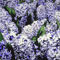 <p>Hyacinth Air freshener the fresh floral aroma of real Hyacinth flowers, the Easter flower. Just Add Water to Refresh. Our Safer Candle Alternative Will Last 2880 Hours. Replace that Old School Candle. Take A SCENTimental Journey, We Practice Safe Scents.</p>