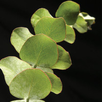 Eucalyptus Air Freshener made with Essential Oil has The Fragrance of Fresh picked Eucalyptus Leaves.