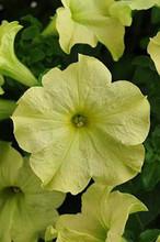 Petunia Sophistica Lime Green