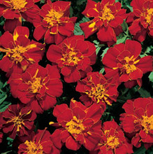 Marigold Seeds - French Safari  Red