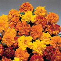 Marigold Seeds - French Aurora Mix