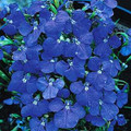 Lobelia Blue Wings Annual Seeds