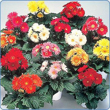 Gerbera Festival Series Mix Grower Select