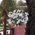 Geranium Ivy Summer Showers Series White Blush